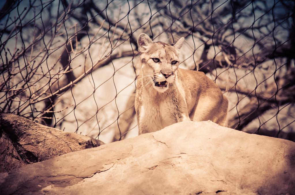 Image of Cougar at zoo